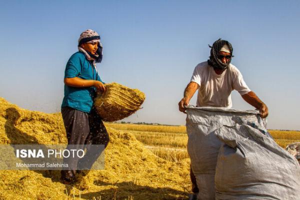 آمادگی 30 مرکز برای خرید تضمینی گندم مازاد بر احتیاج کشاورزان خراسان رضوی